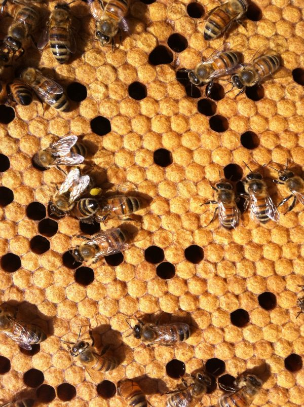 baby bees, bee brood, frame of bees